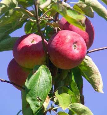 yбopкa урожая яблок