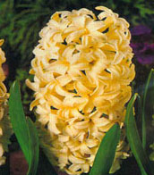 Гиацинт  Hyacinthus