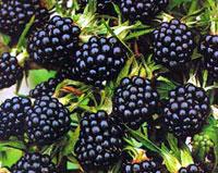 Хранение плодов и ягод